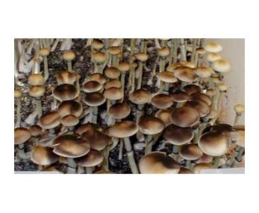 Psilocybe cubensis Aussie Spores #3620