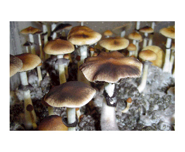 Psilocybe cubensis Creeper Spores #3655