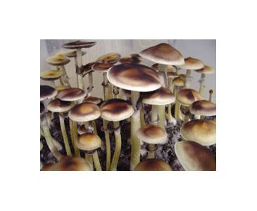 Psilocybe cubensis EQ Spores #3660