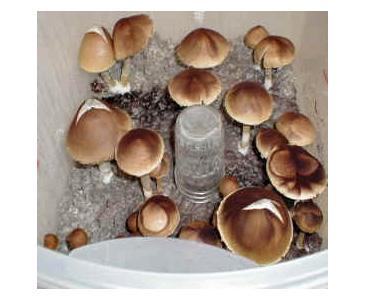 Psilocybe cubensis PES Hawaii Spores (3725) Lil' Shop of Spores