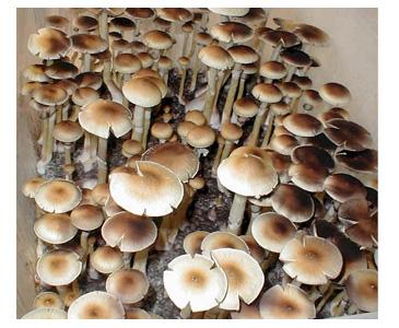 Psilocybe cubensis Thailand Lipa yai Spores #3765