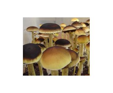 Psilocybe cubensis PESA Spores #3720