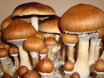 Psilocybe cubensis Magic Mushroom Spores Syringes and Prints
