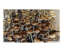 Psilocybe cubensis Aussie Spores 3620
