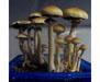 Psilocybe cubensis Chile Spores 3645