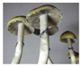Psilocybe cubensis Golden Teacher Spores 3675