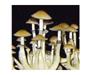 Psilocybe cubensis Mexi-cube Spores 3695