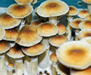 Psilocybe cubensis Malabar Spores 3680