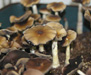 Psilocybe cubensis PF Classic Spores 3730
