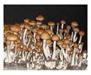 Psilocybe cubensis Puerto Rico Spores 3735