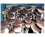 Psilocybe cubensis Tasmania Spores 3745