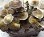Psilocybe cubensis Peru Spores 3715