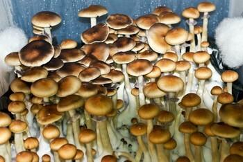 Psilocybe cubensis Escondido Spores 3795