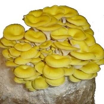 Oyster - Golden (Pleurotus citrinopileatus) 8035