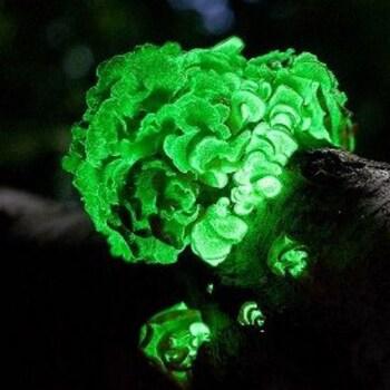 Bio-Luminescent Panellus (Panellus stipticus) 7020