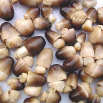 Paddy Straw Mushroom (Volvariella volvacea) 8060