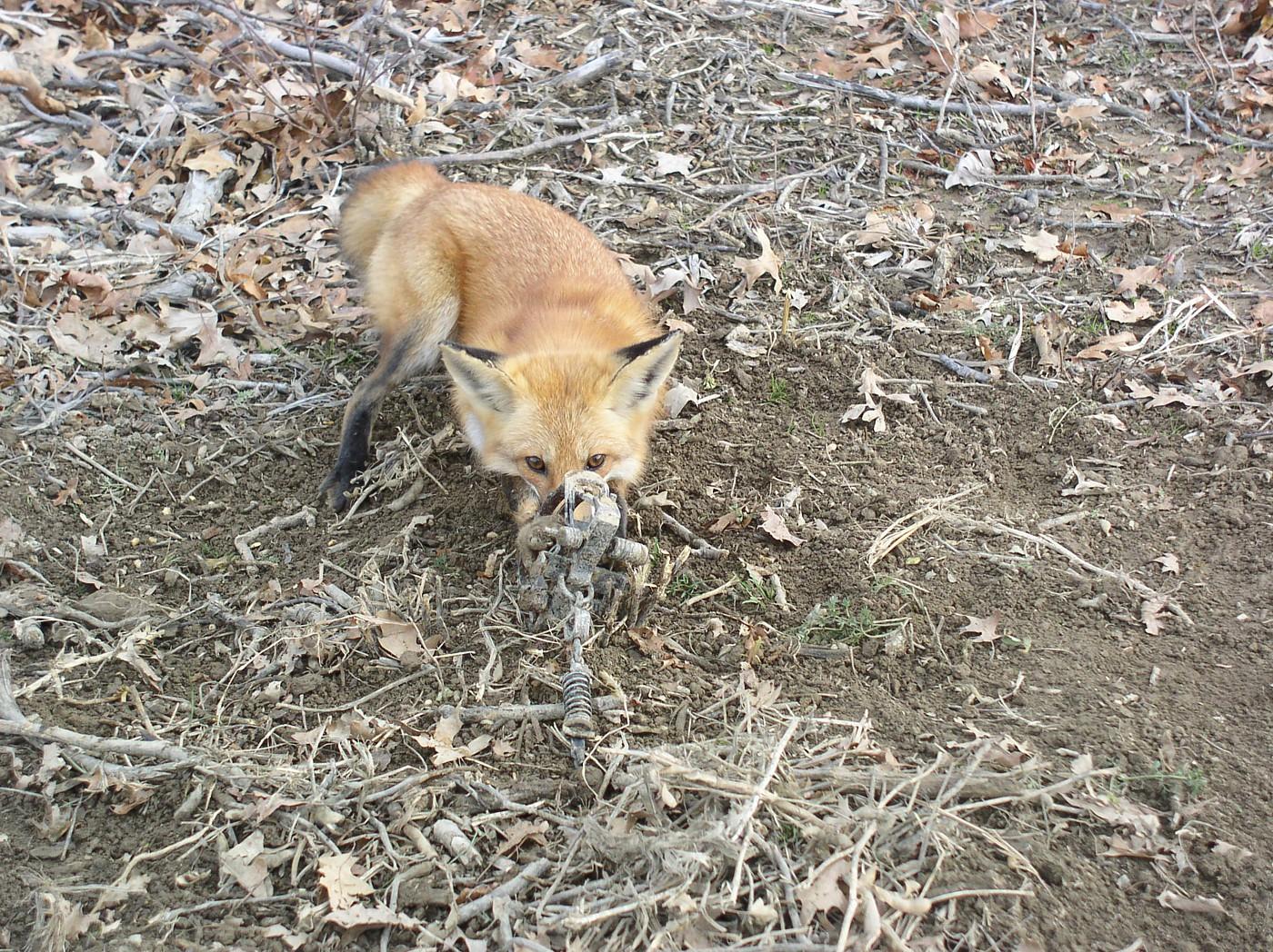 Feral Cat Bait Australia