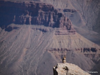 Grand Canyon Squirrel #10-PA020106
