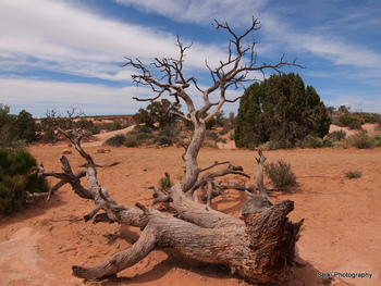 Arches National Park tree #33-P4234967
