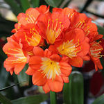 House Plant - Clivia - Orange Bloom 5921