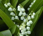 Perennial - Convallaria - Lily of Valley - Bakers Dozen Pips 5920