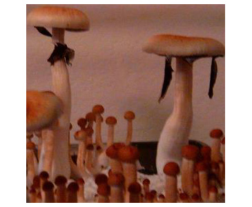 Psilocybe cubensis F+ Spores #3665
