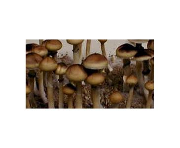 Psilocybe cubensis Mazatapec Spores #3685