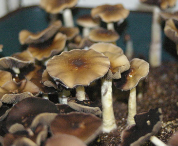 Psilocybe cubensis PF Classic Spores #3730
