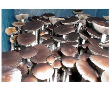 Psilocybe cubensis Tasmania Spores #3745