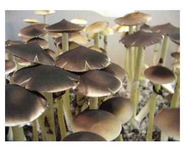 Psilocybe cubensis Z-Strain Spores #3780