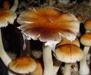 Psilocybe cubensis Argentina Spores 3615