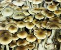 Psilocybe cubensis Nepal Chitwan Spores 3700