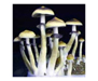 Psilocybe cubensis Orissa India Spores 3705