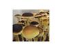 Psilocybe cubensis PESA Spores 3720