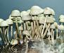 Panaeolus Cyanescens Jamaica 7010