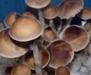 Psilocybe cubensis South Africa Transkei Spores 3740
