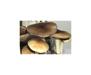 Psilocybe cubensis Texas Spores 3750