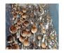 Psilocybe cubensis Treasure Coast Spores 3775