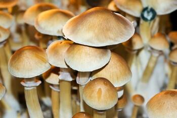 Psilocybe cubensis Burma Spores 3635