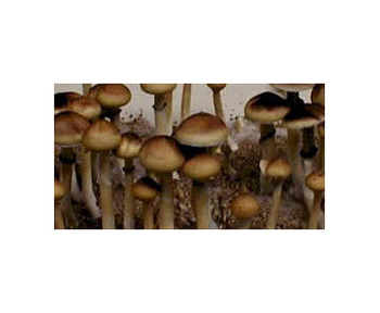 Psilocybe cubensis Mazatapec Spores 3685