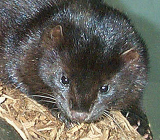 Northern Mink Urine miur