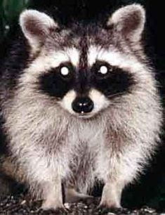 Northern Raccoon Urine #Racuri