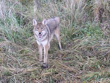Brian in W.V. uses Molnar's Indian Hollow Predator Bait to lure this Yote!